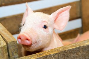 Shop for pig feeds at Berend Bros. in West Texas.
