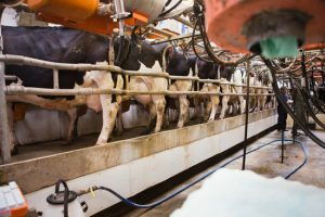 Berend Bros. offers Dairy Cattle feeds, minerals and supplements.