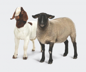 Save 10% off Sheep & Goat Accessories in September at Berend Bros.